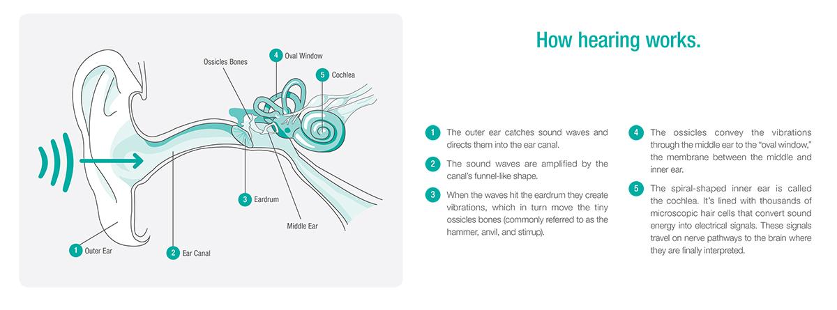 How You Hear - Hearing Process - Shreveport, LA - The ENT Center, AMC